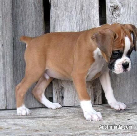 Cute Boxer Puppy Http Www Australiada Com Cute Boxer Puppies For