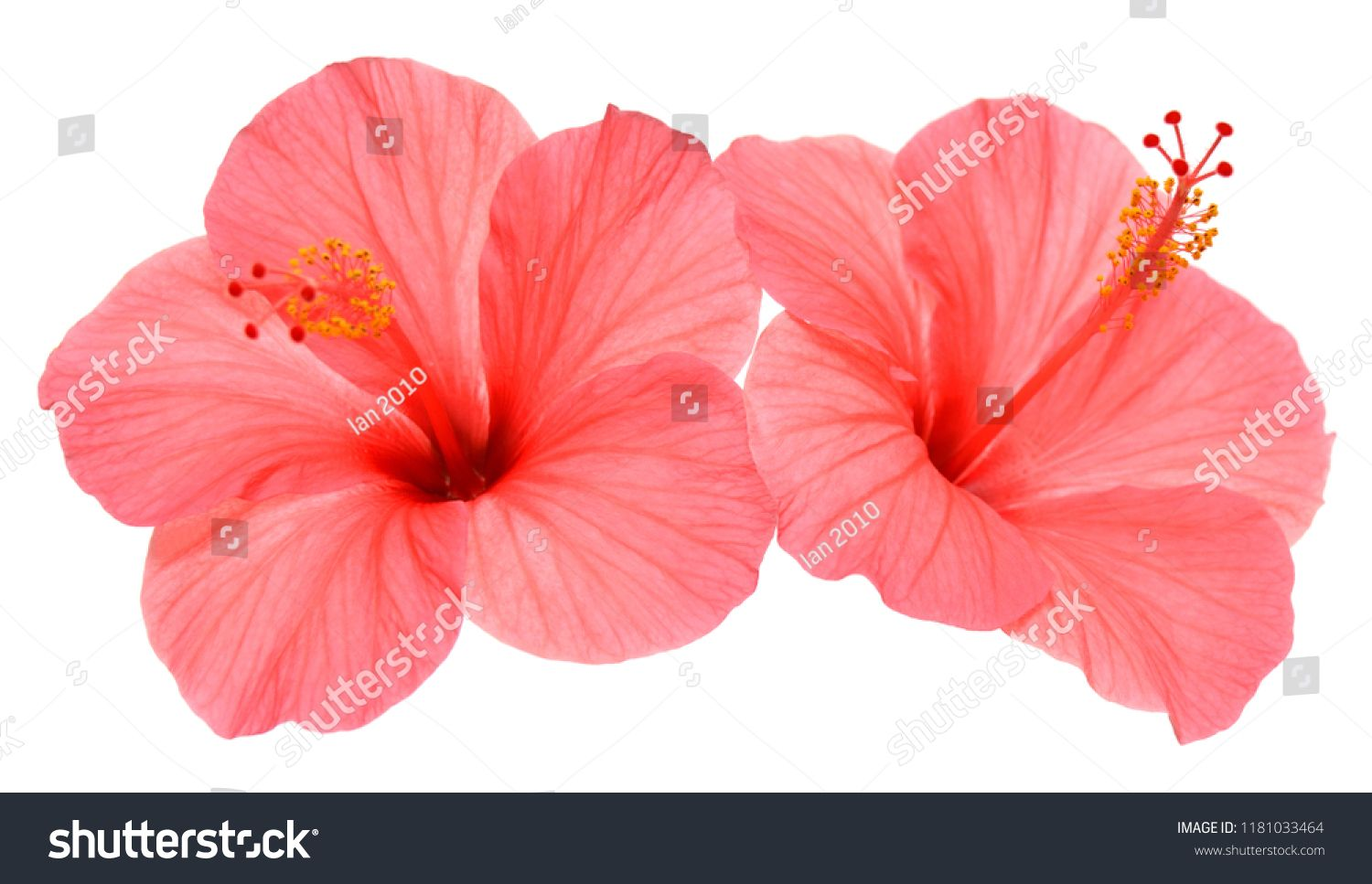 Two Pink Hibiscus Flowers Isolated On White Background Flat Lay Top View Macro Object Sponsored Affiliate Isolated Hibiscus Flowers Hibiscus Flowers