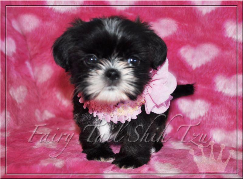 Black White Imperial Shih Tzu Puppies Shih Tzu Puppy Shih