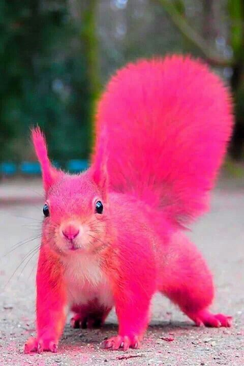 OK, so not that kind of pink squirrel! The pink squirrel I am talking about is an adultice creamdrink. If you are from Wisconsin, then you have most likely heard of a pink squirrel,but if you&#8…