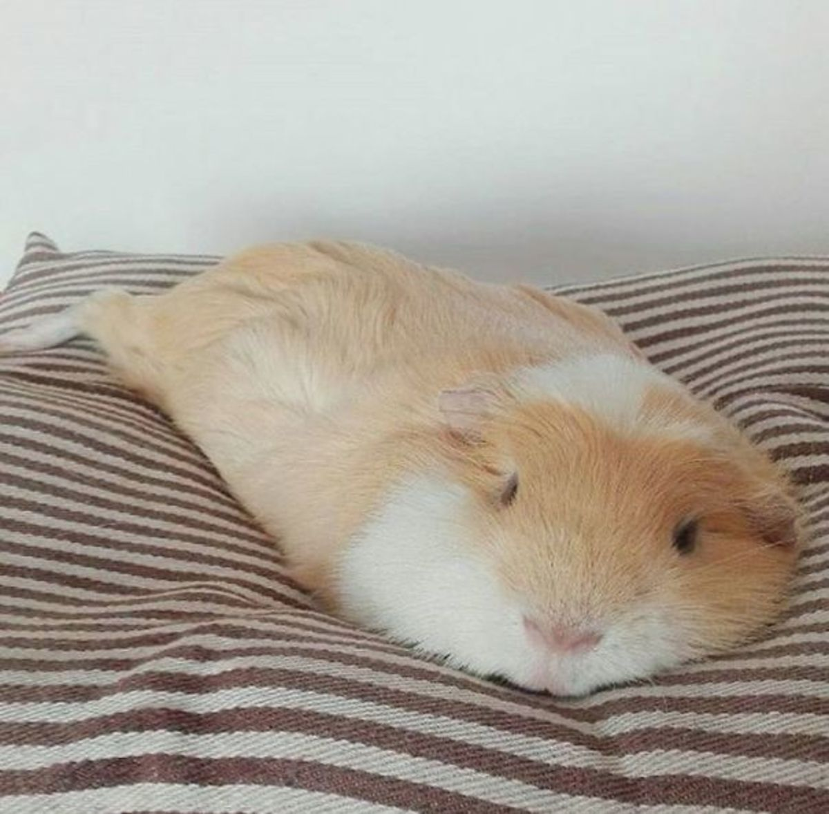 Pin on fat guinea pig