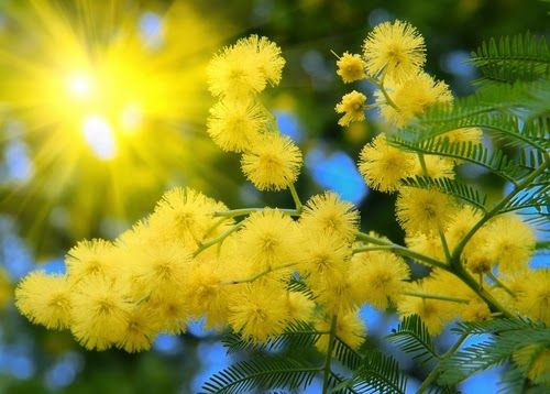 Shadows magick place: Mimosa use in herbal magick