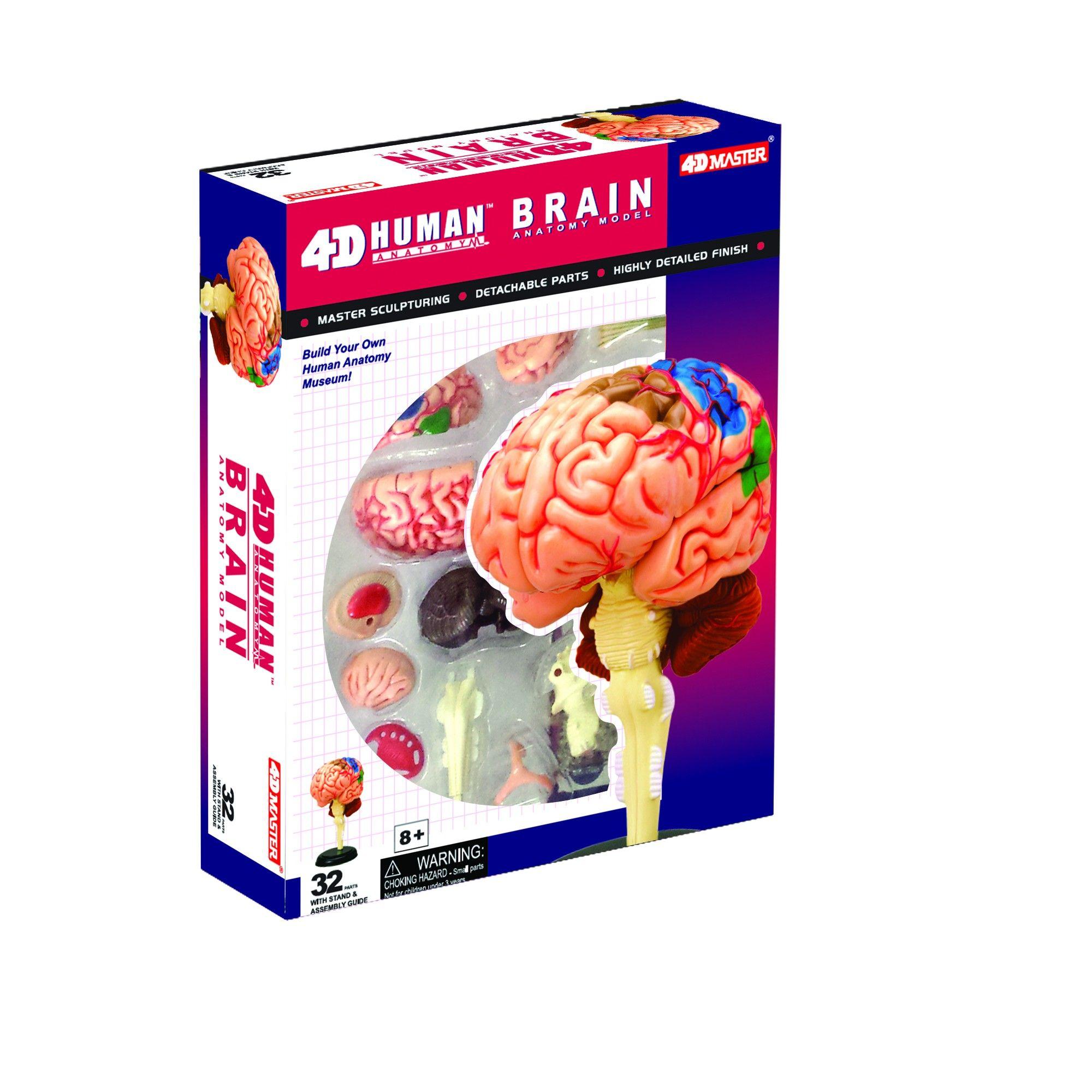 4D Brain Anatomy Model, Anatomy and Biology Kits | Brain anatomy ...