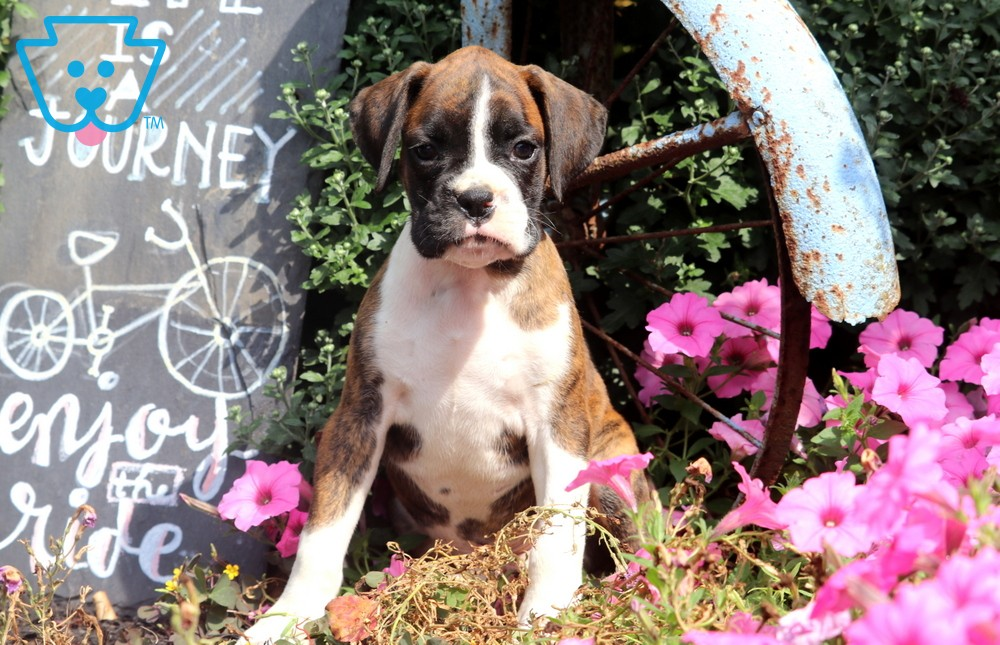 Spanky Boxer Puppies For Sale Puppies For Sale Boxer Puppies