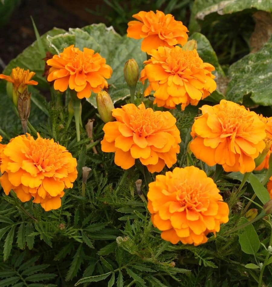 How to Grow Marigolds in 2020 Growing marigolds