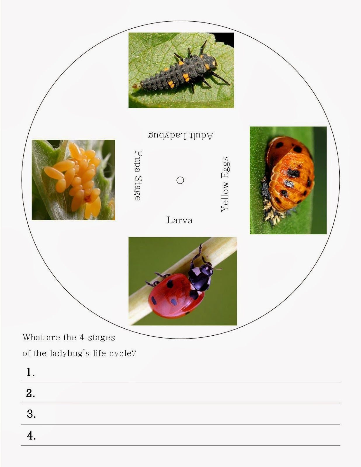 worksheet Ladybug Life Cycle Worksheet a bunch of bishops ladybug life cycle wheel free printable printable