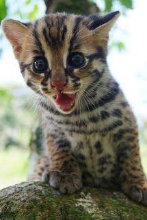 Kucing batu malaysia Malaysian wild Cat  infant Leopard cat