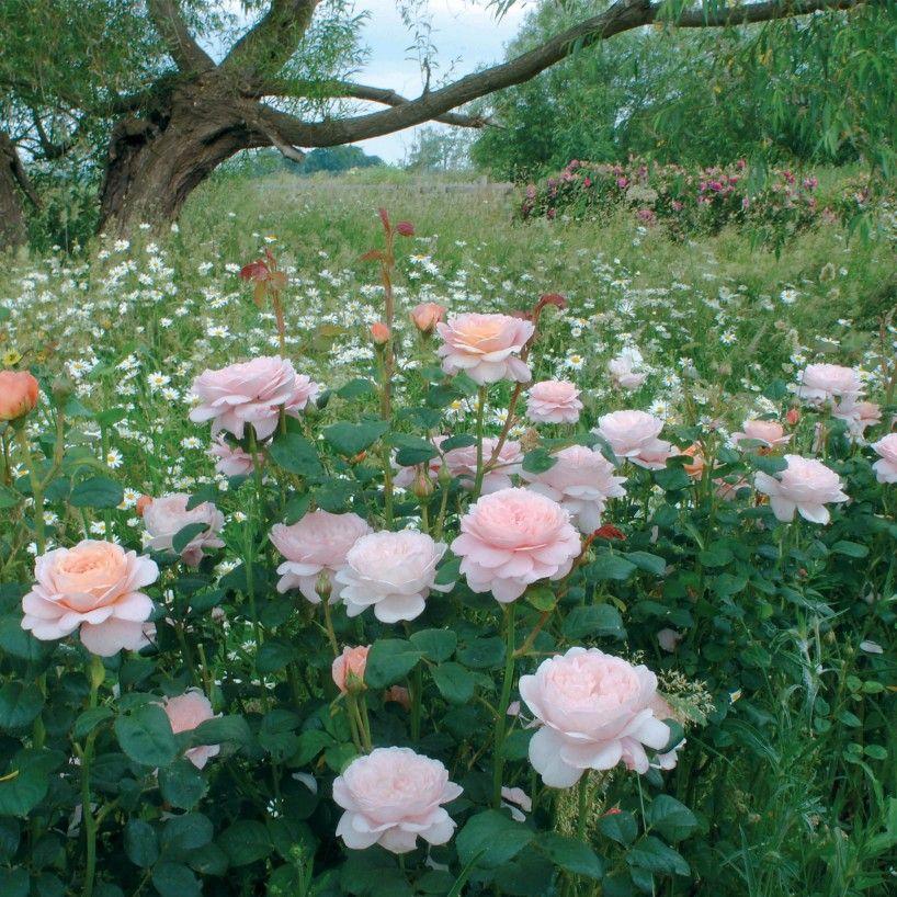 Queen Of Sweden Rosier Arbustif Pour Zone Ombragee Flower Aesthetic Queen Of Sweden Shrub Roses