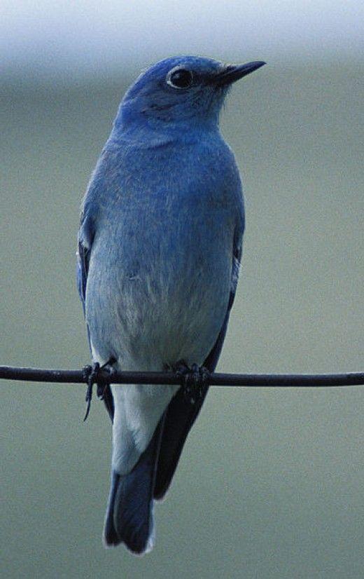 Bluebirds In North Carolina North Carolina Pinterest Blue