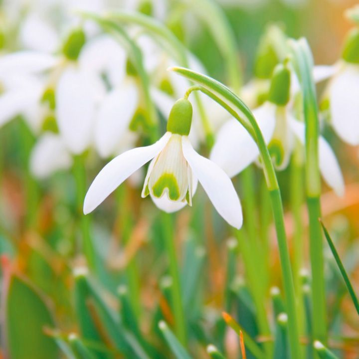 Divide Snowdrops In Three Simple Steps In 2020 Garden Bulbs Bulb Flowers