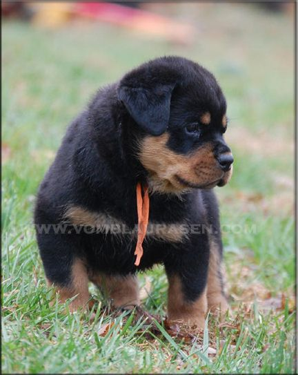 Images Of Rottweilers German Rottweiler Puppies And Dogs