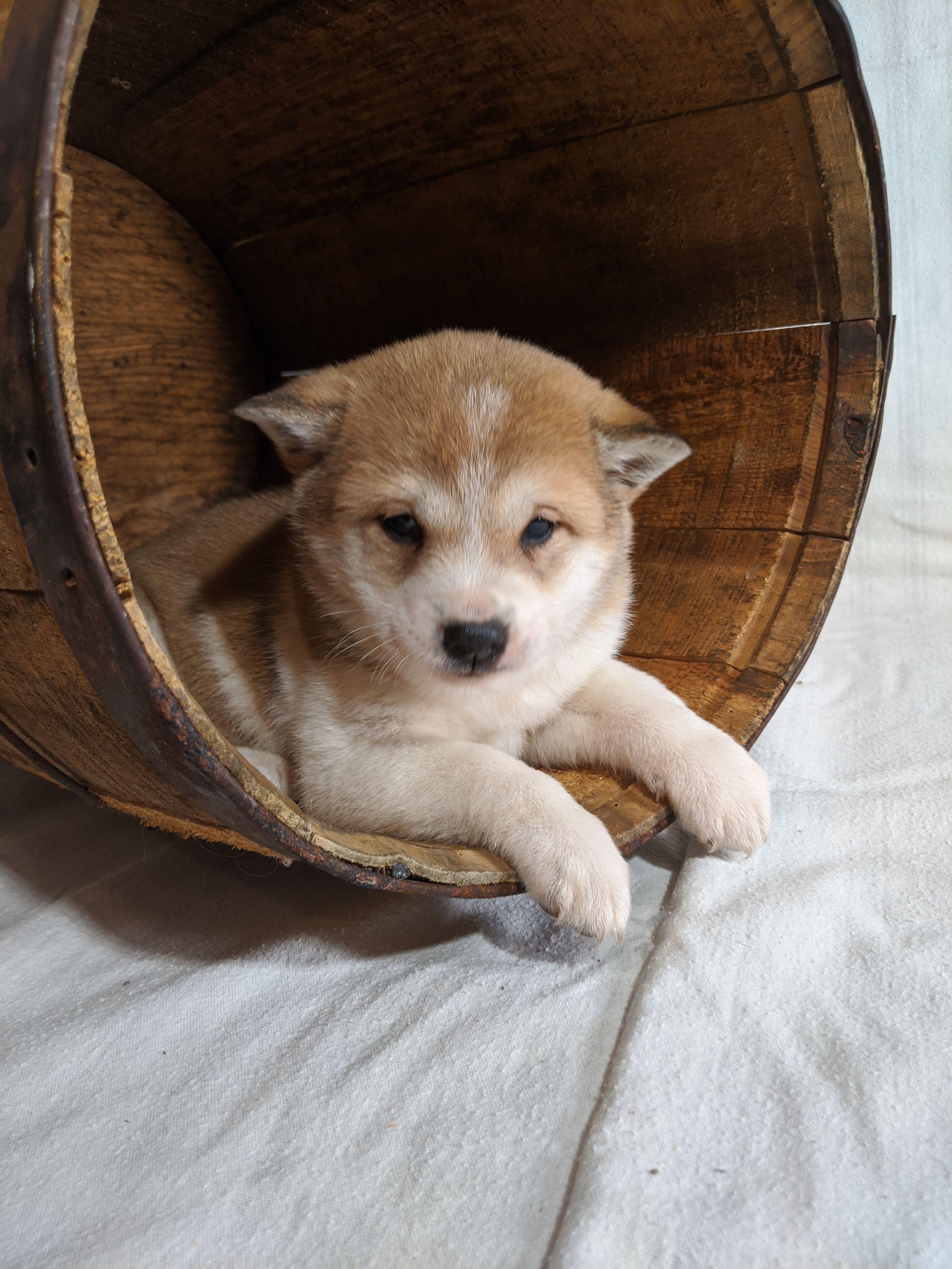 Brownie AKC Shiba Inu pup for sale near Goshen, Indiana