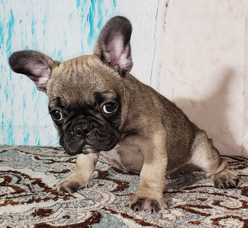 Gigi Fawn Sable Female Frenchie Available Now 2700