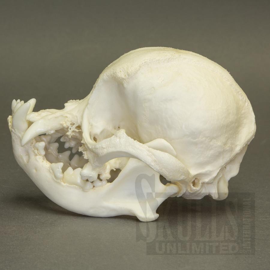Pug Skull Google Search Bones Dog Rat Skeleton Diagram