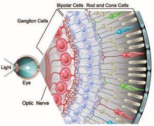 Retina cells diagram | References | Pinterest