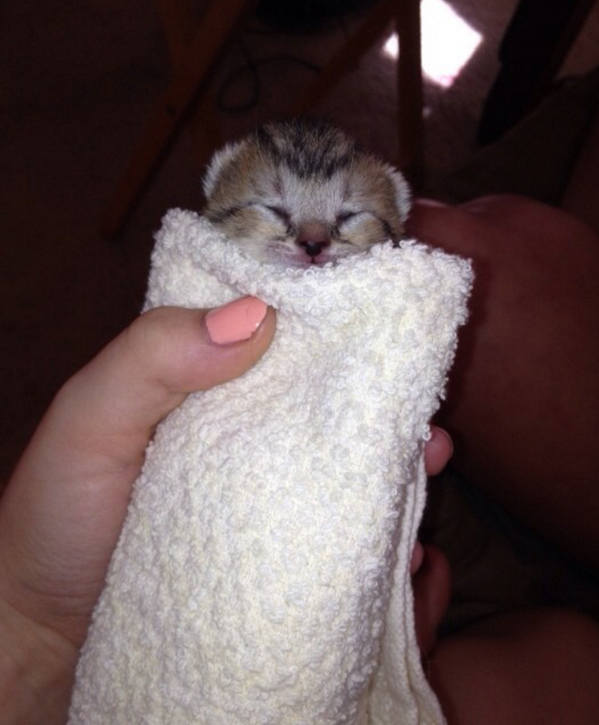 I give you Tobias our kitty burrito. via @EmrgencyKittens