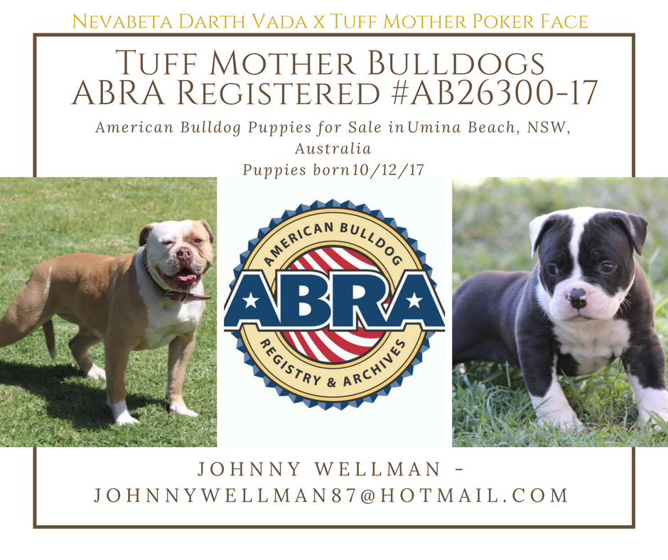 American Bulldog Puppies For Sale Abra American Bulldog Registry Archives Puppies For Sale American Bulldog Puppies Bulldog Puppies