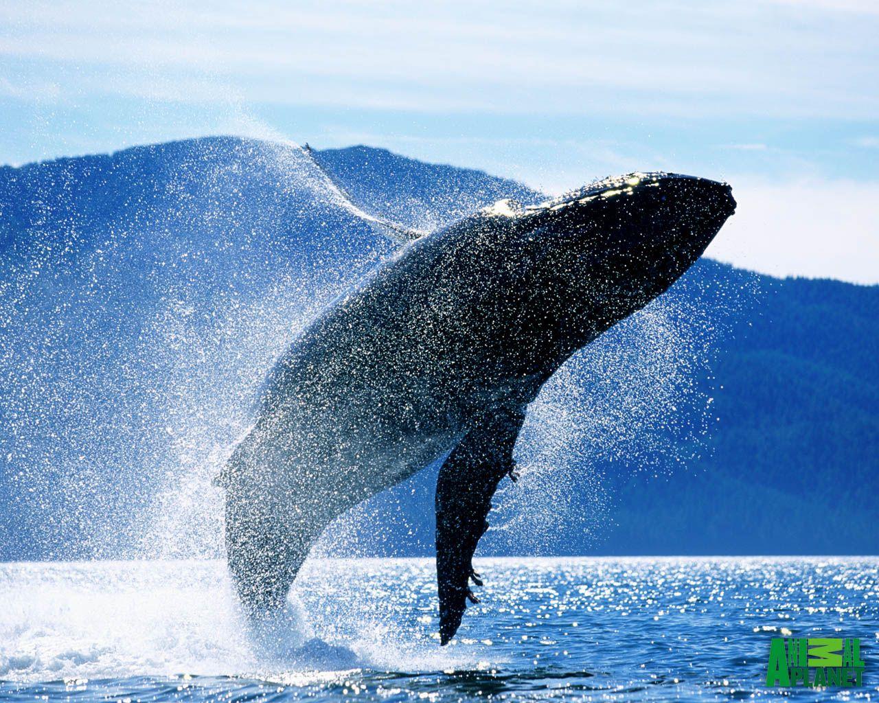 Humback Whale Breaching Whale Blue Whale Humpback Whale
