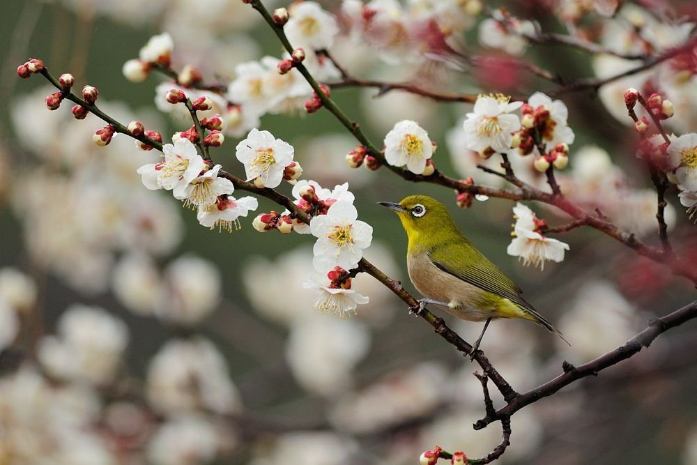 Japanese white-eye on White Ume Tree by Mubi.A