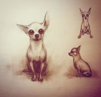 Chihuahua by Sindacollo