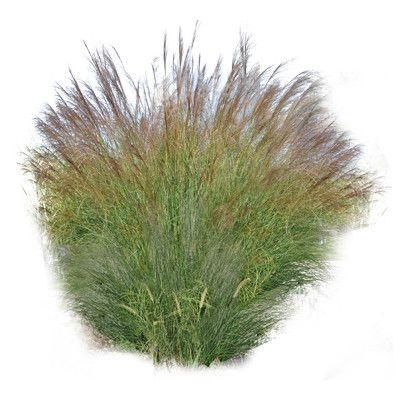 Texture Png Grass Ornamental Miscanthus Tree Photoshop Landscape Elements Grass Photoshop