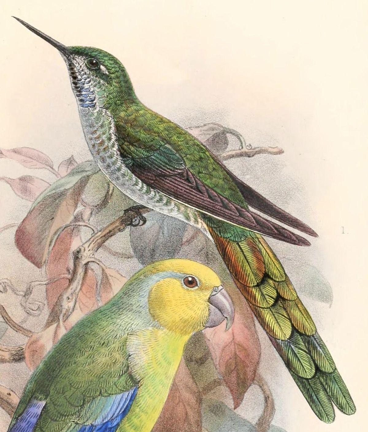 Grey-bellied comet - Wikipedia | Endangered Hummingbirds | Pinterest