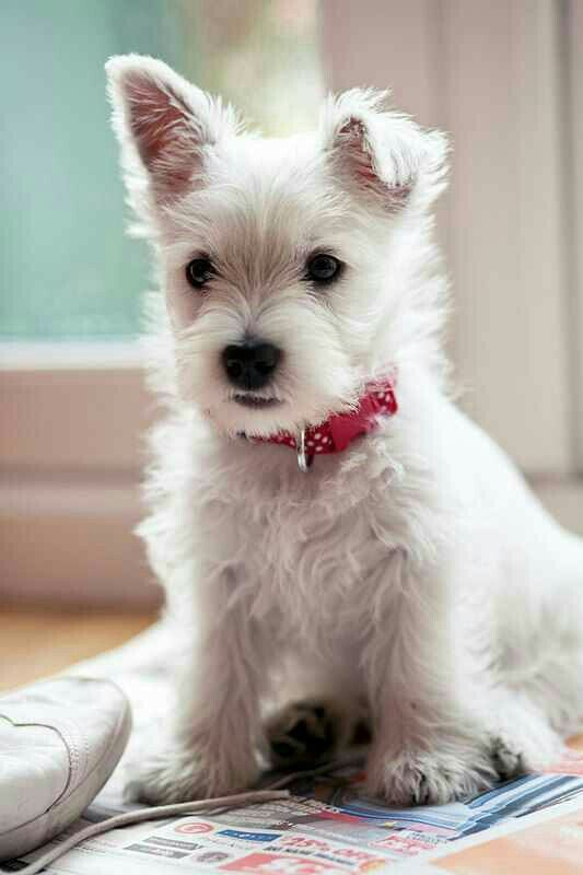 West Highland Terrier Westie puppies, Cute dogs, Dogs