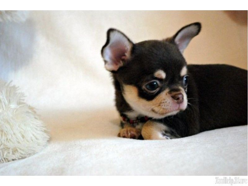Chihuahua Florida A Small Miracle For Sale 21 Chihuahua