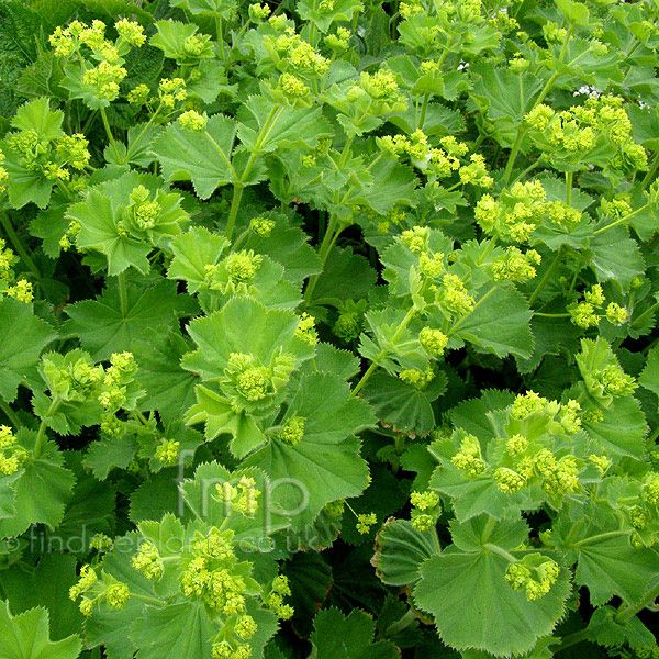 Alchemilla mollis (Ladies Mantle, Alcemilla): Information, Pictures & Cultivation Tips