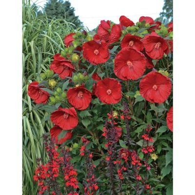 Proven Winners 3 Gal Cranberry Crush Summerific Hibiscus Hibpwp2023136 The Home Depot Hibiscus Plant Plants Planting Flowers