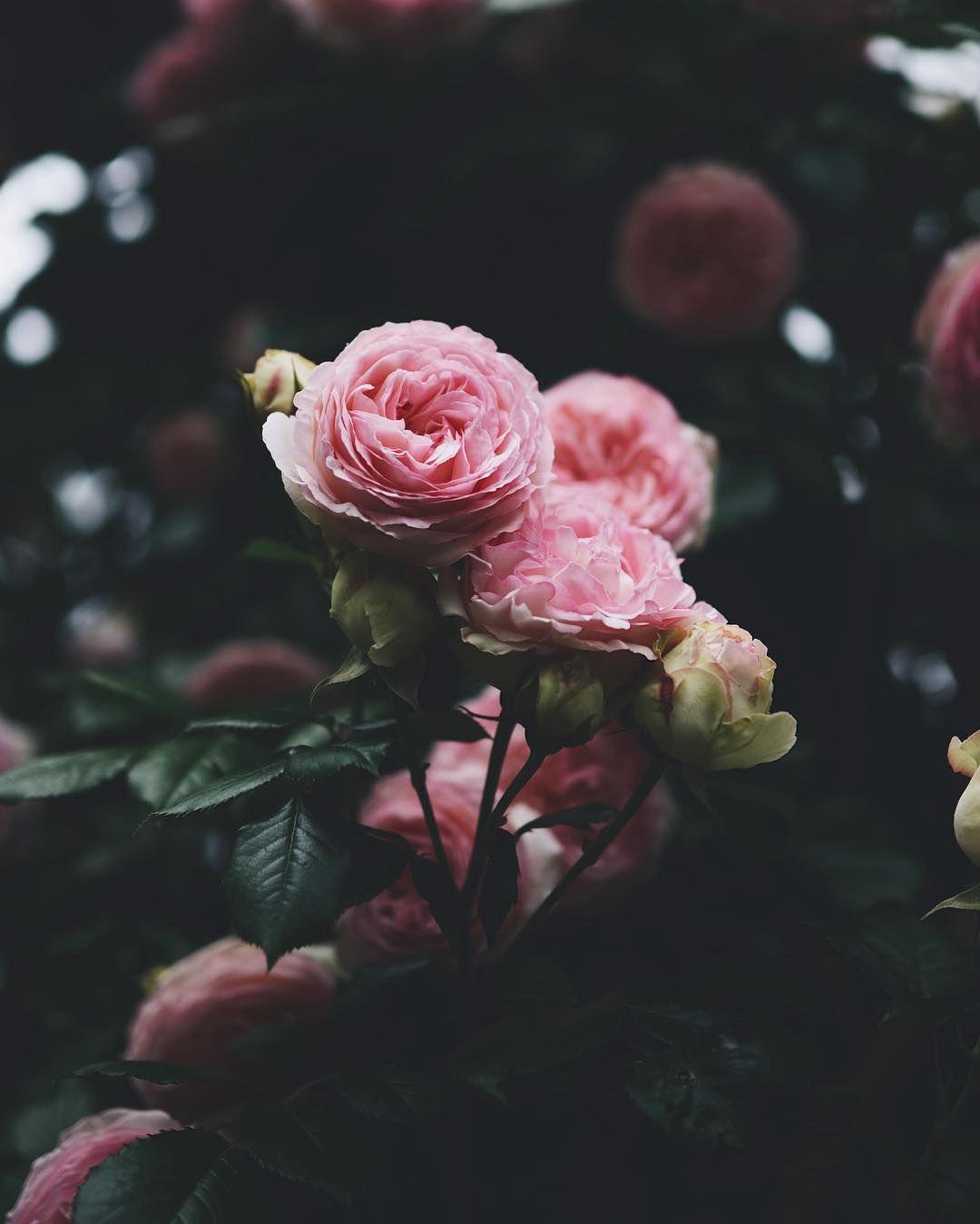 pink roses | Tumblr | Rose tumblr, Rose