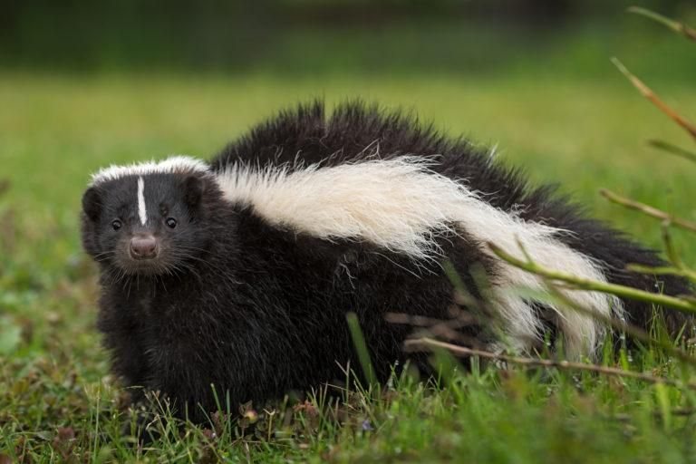 Pin By Cindy Falkenstein On Gardening Getting Rid Of Skunks Skunk Removal Food Animals