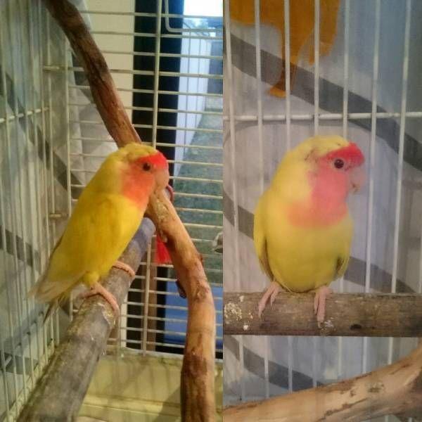 FOUND LOVEBIRD: 18/08/2015 - Bexley, New South Wales, NSW, Australia. Ref#: F20703 - #ParrotAlert #FoundBird #FoundParrot #FoundLovebird