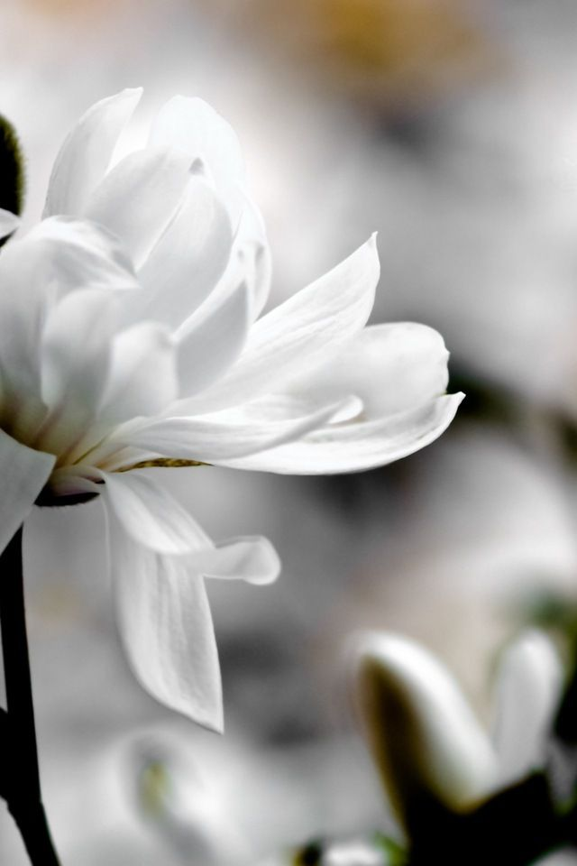 White Magnolia Love Flowers Flowers White Flowers