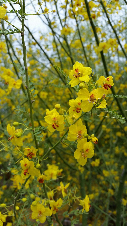Desert Museum Palo Verde Cercidium X Desert Museum Flowering