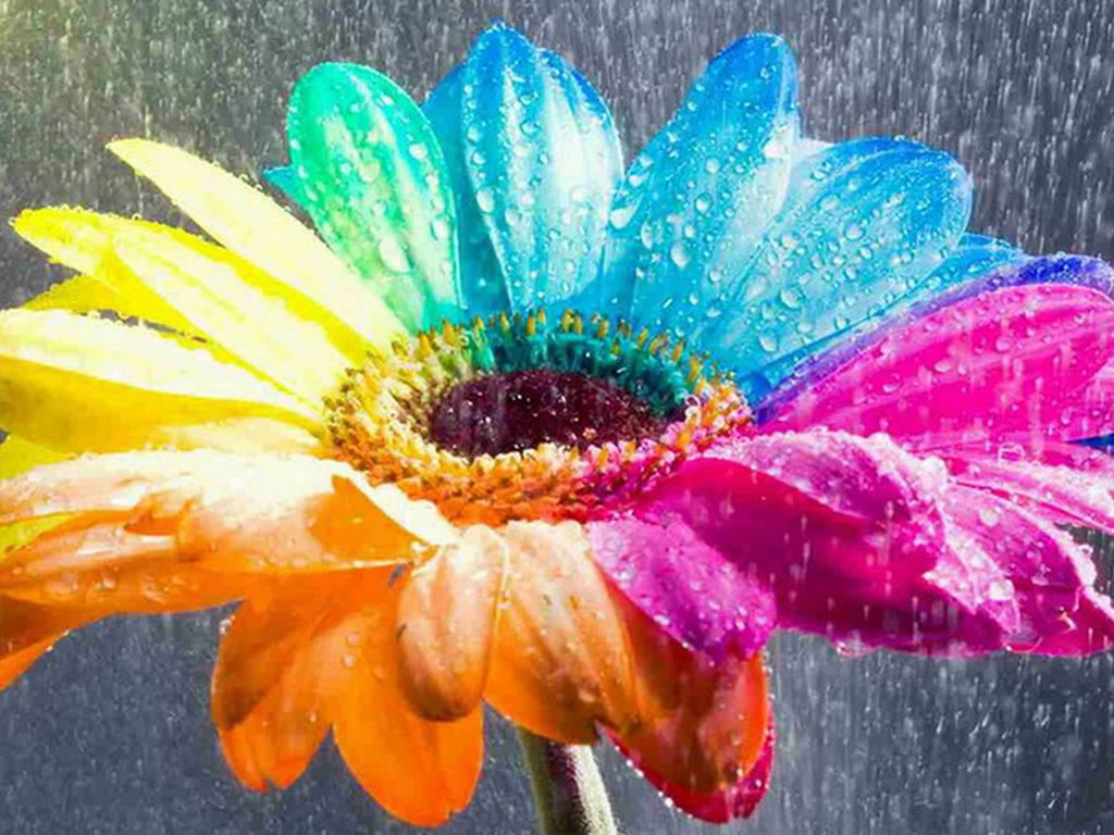 rainbow flower  blue  bright  colorful  flowers  green  nature     rainbow flower  blue  bright  colorful  flowers  green  nature  orange   pink  pretty  rain  rainbow  sunflower  water  wet  yellow