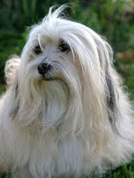 Just Look Into That Face Havanese Are The Wisest Most Thoughtful