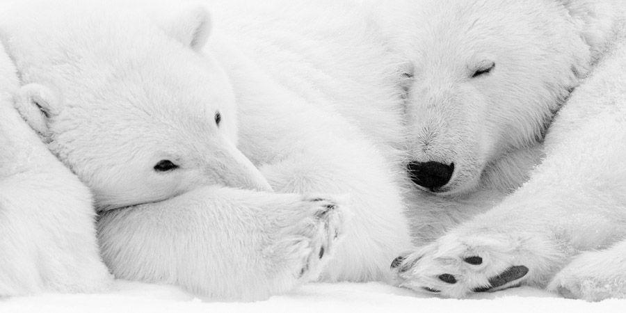 Les animaux polaires par le photographe Kyriakos Kaziras