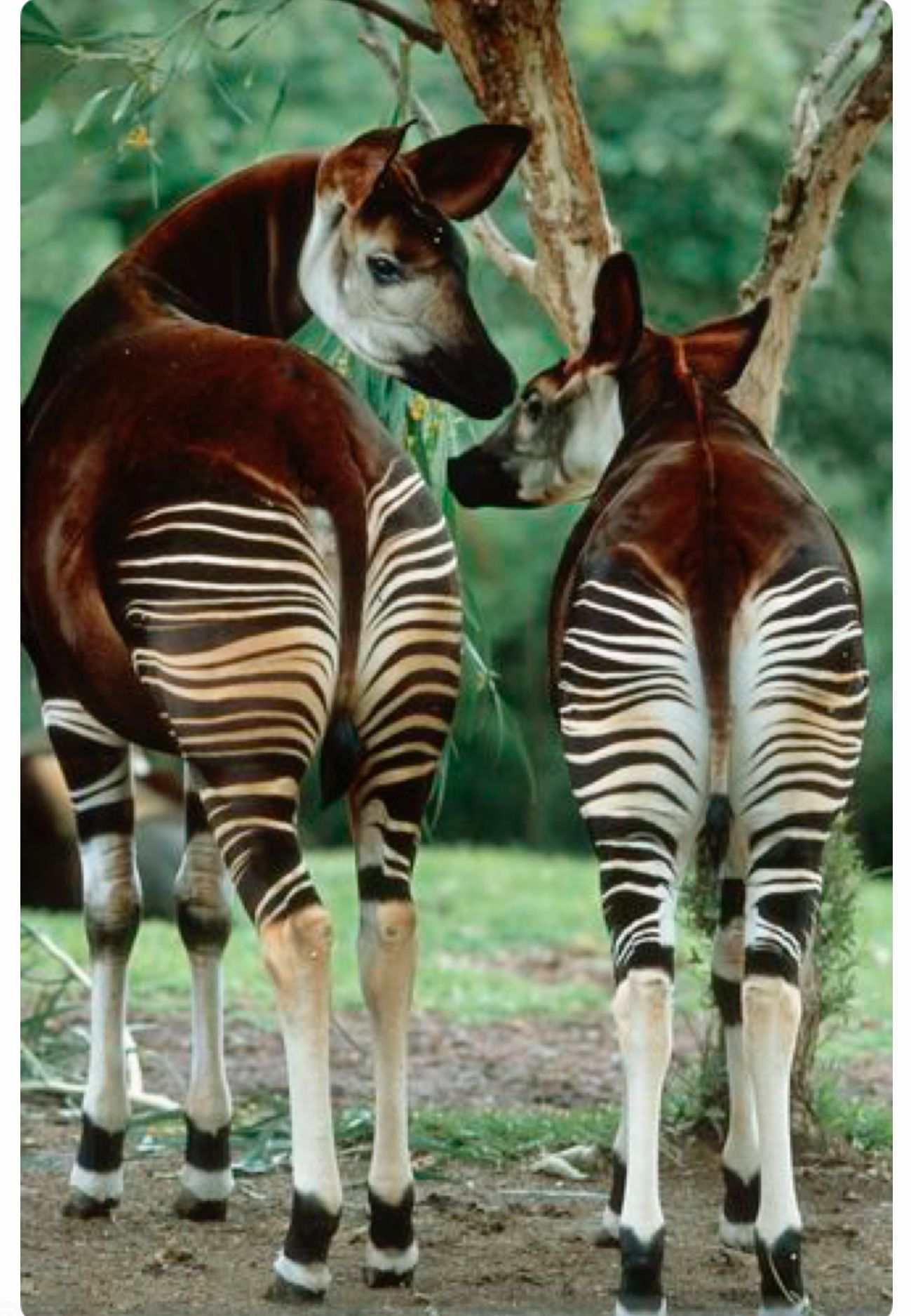 Pretty Okapi Striped Butts This Okapi Mom And Calf From The Congo Are Related To The Giraffe Endangered Animals Rare Animals Unusual Animals
