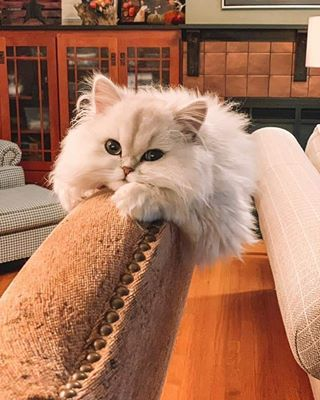 Golden & White Bicolor Persian Kittens