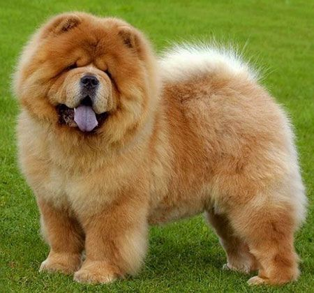 29 Popular Chow Dog Pictures For Dog Lovers Dog Breeds Chow