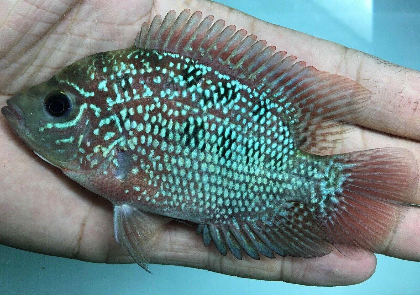 Flowerhorn Female Kamfa High Aquarium fish, Cichlids, Fish