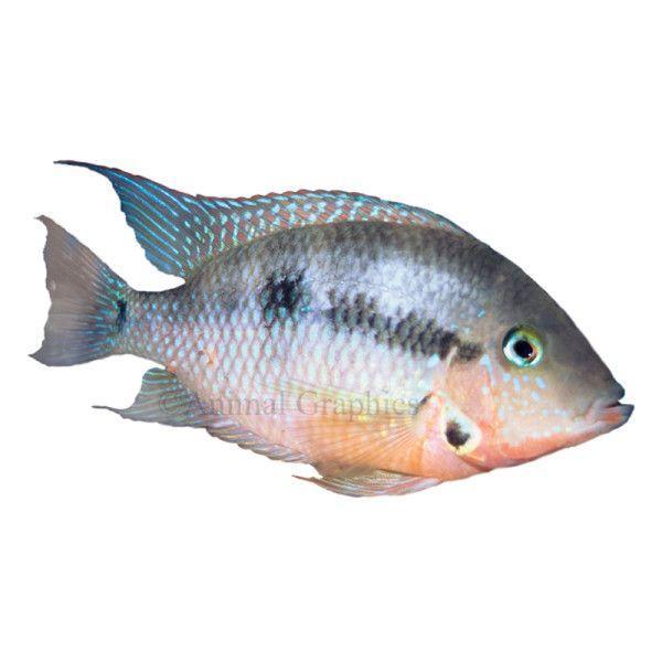 Firemouth Cichlid Live Fish Petsmart Pet Fish Cichlids Fish