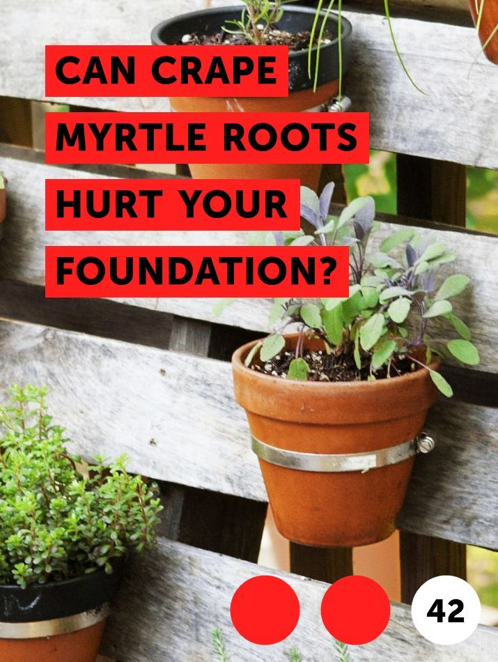 Can Crape Myrtle Roots Hurt Your Foundation? Planting