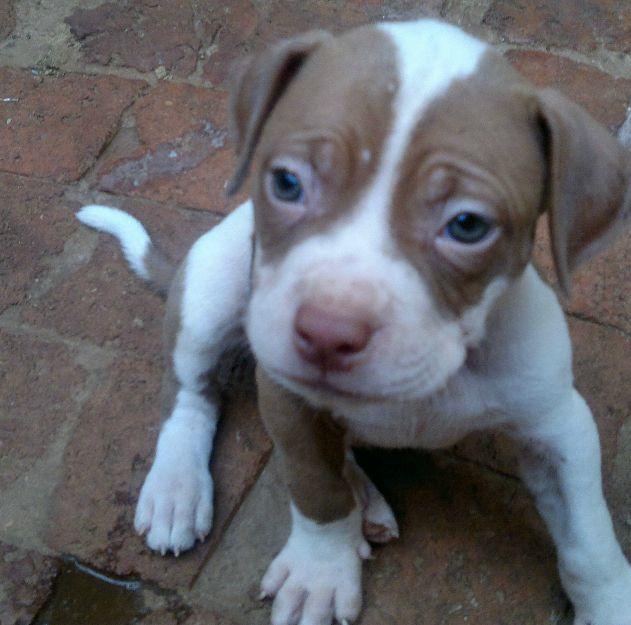 American Pitbull Terrier Puppy Brown White Pitbull Terrier