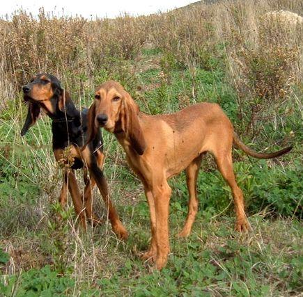 Il Segugio Italiano A Pelo Raso è Una Razza Di Cani Da Caccia Di