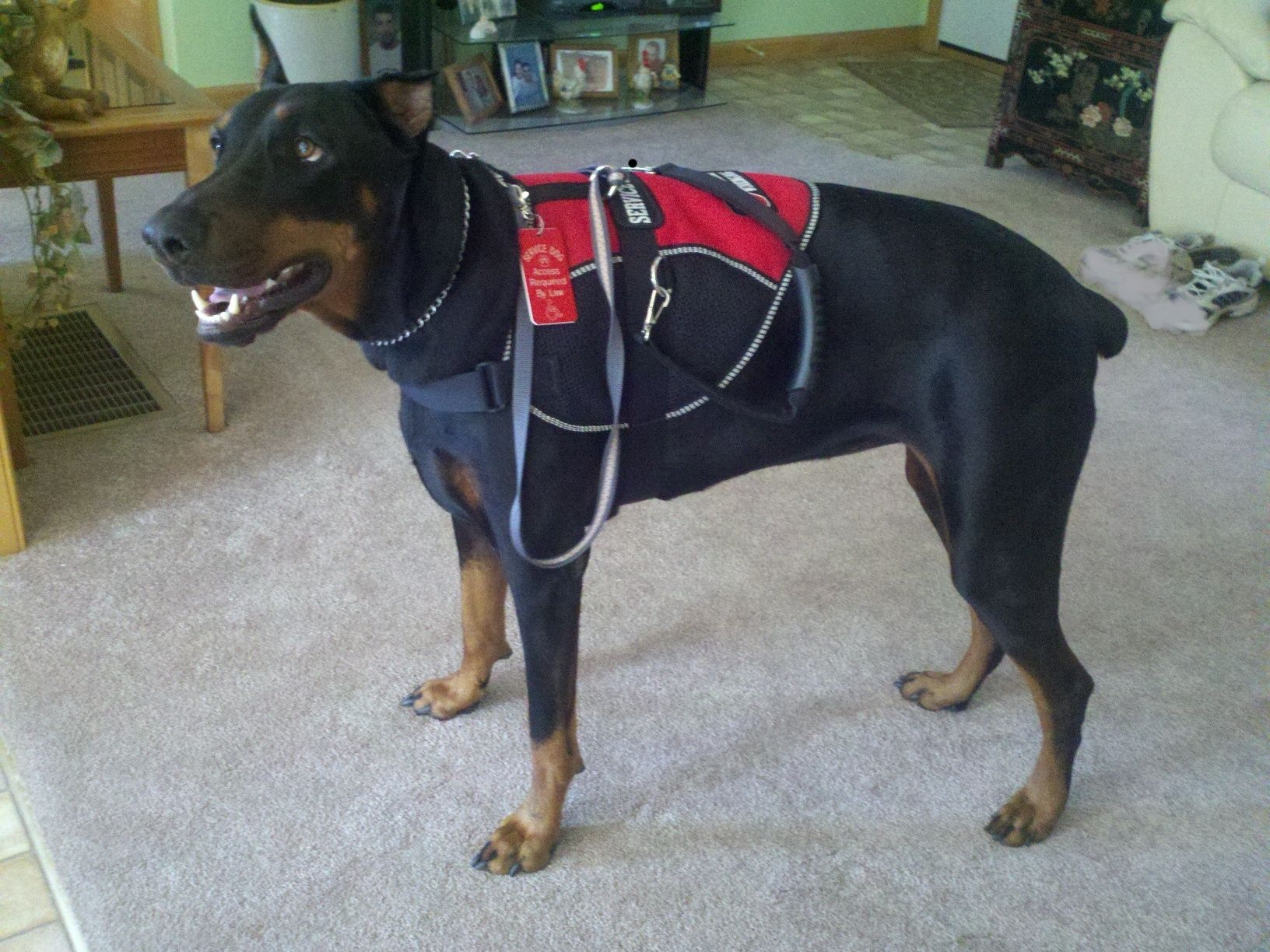 Doberman Service Dog Bella Service Dogs Military Working Dogs