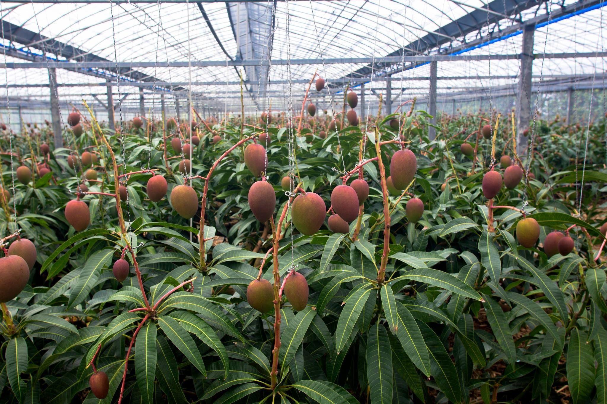 espalier fruit trees in asia Google Search Espalier