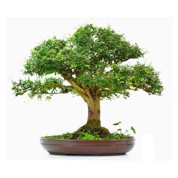 vente de bonsai orme de chine 35 40 ans specimen 60 cm 130903 acheter en ligne sankaly bonsa. Black Bedroom Furniture Sets. Home Design Ideas