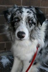 Bronco Is A Gorgeous Adoptable Australian Shepherd Dog In Duluth Mn Available For Adoption At Animal Australian Shepherd Dogs Blue Merle Australian Shepherd